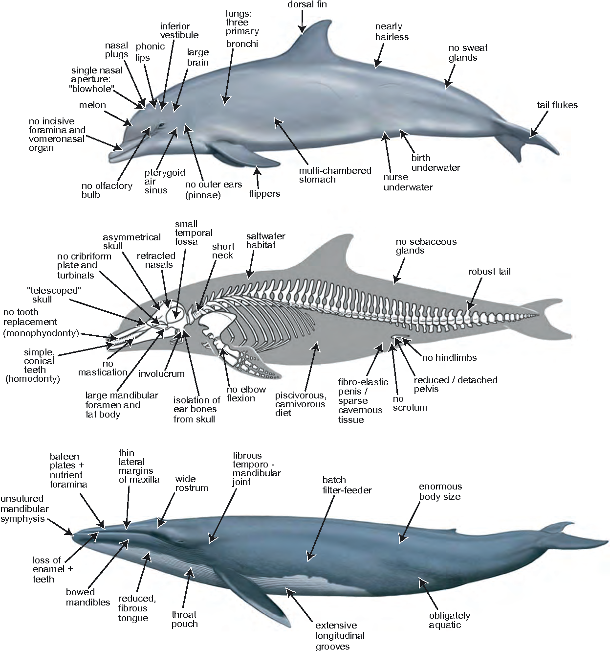 Figure 2 from A phylogenetic blueprint for a modern whale ...