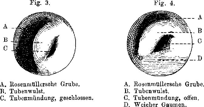 Figure 5 from Die Ohrtrompete (Tuba Eustachii), ihre Anatomie und ...