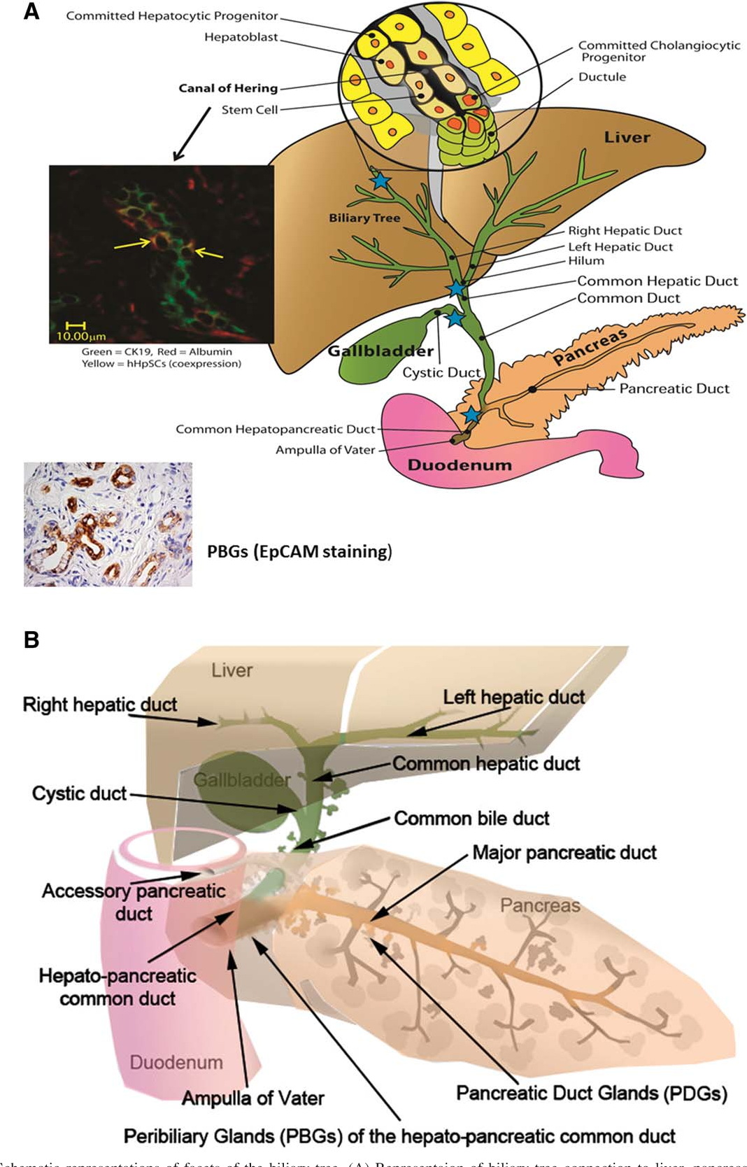 schematic representations of facets of the biliary tree  (a) representaion
