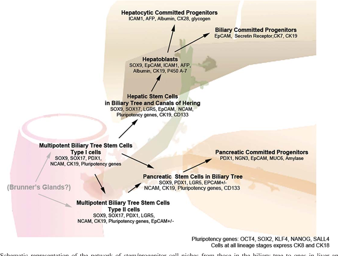 schematic representation of the network of stem/progenitor cell niches from  those