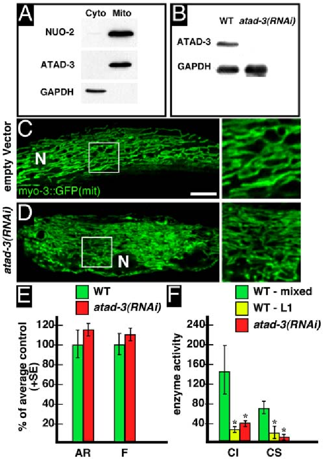 Figure 4 from C  elegans ATAD-3 Is Essential for