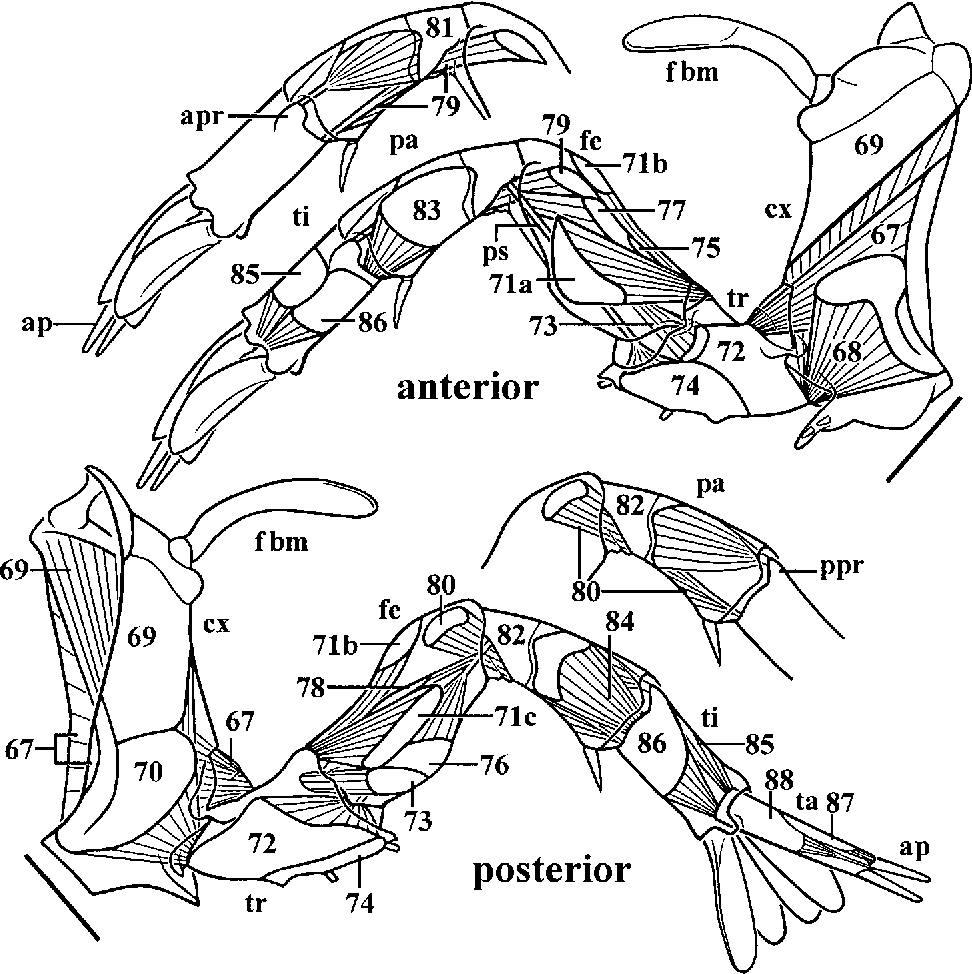 Figure 6 from Gross Muscular Anatomy of Limulus Polyphemus ...