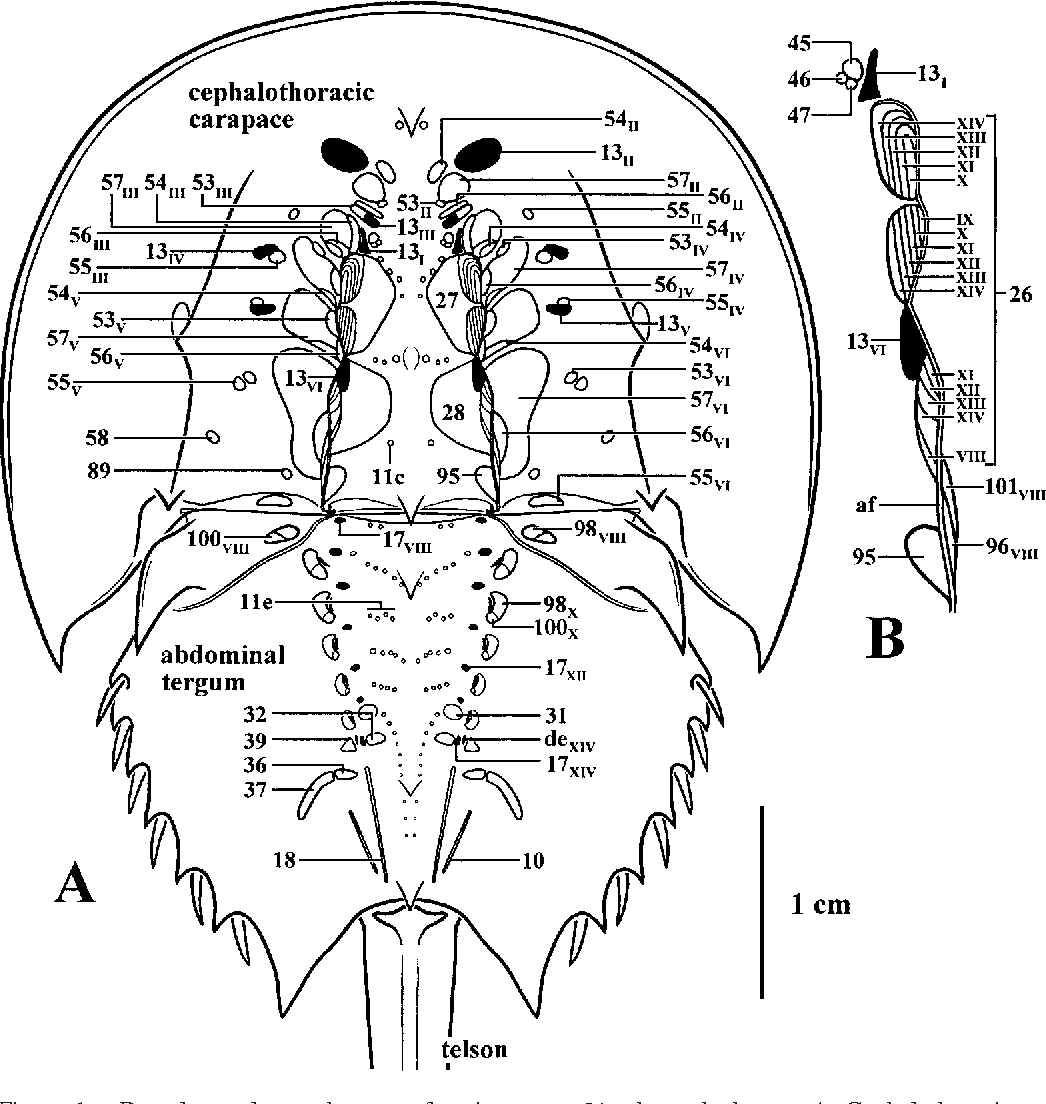 Figure 1 from Gross Muscular Anatomy of Limulus Polyphemus ...