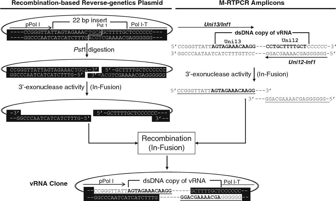 Figure 2 From Influenza A Virus Molecular Virology Techniques