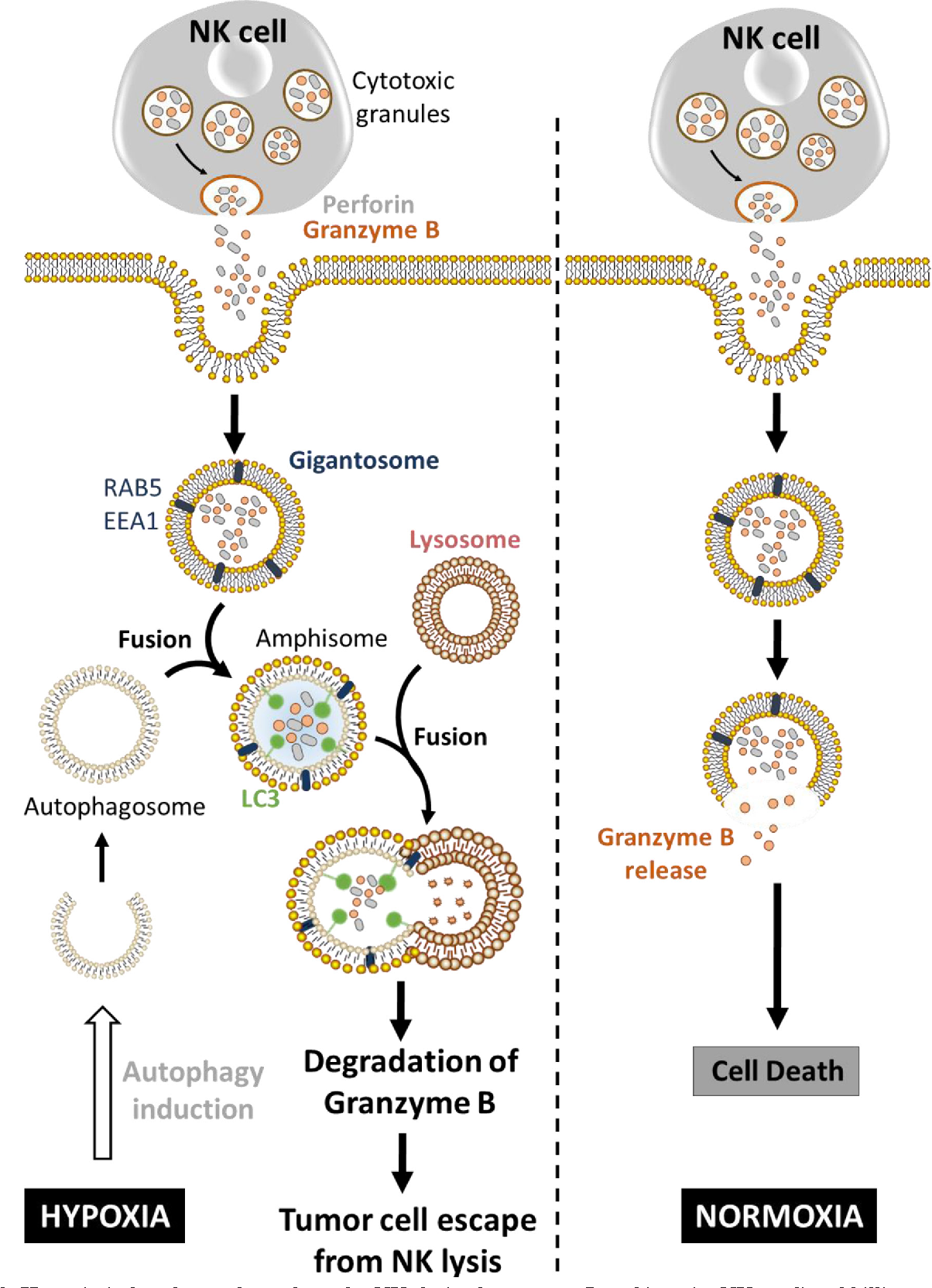 Figure 3 from The multifaceted role of autophagy in tumor evasion