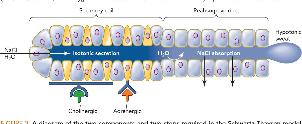 Figure 3 From Cystic Fibrosis Lessons From The Sweat Gland