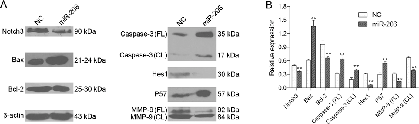 Figure 6. Western blot analysis of Notch3, Bax, Bcl-2, caspase-3, Hes1, p57 and matrix metalloproteinase-9 (MMP-9) expression in each group of HepG2 cells. (A) A representative western blot is shown. (B) Relative protein expression levels of Notch3, Bax, Bcl-2, full length (FL) caspase-3, cleaved (CL) caspase-3, Hes1, p57, MMP-9 FL and MMP-9 CL were assessed calculating the integral optical density (IOD)-values. IOD values were normalized to those of β-actin protein. **P<0.01.