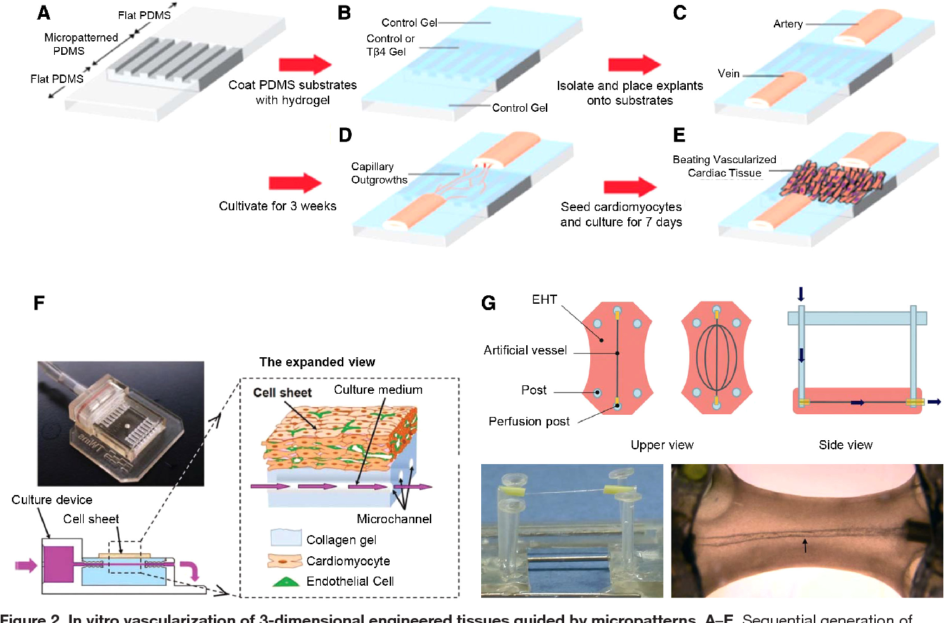 figure 2 from cardiac tissue engineering: state of the art
