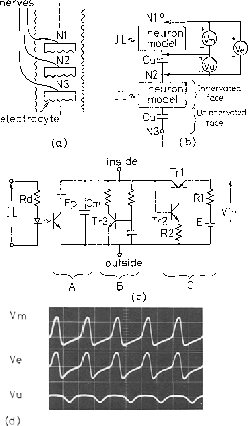 figure 7 from two terminal electronic circuit neuron model withelectronic circuit model of electric organ (eo) in the weakly