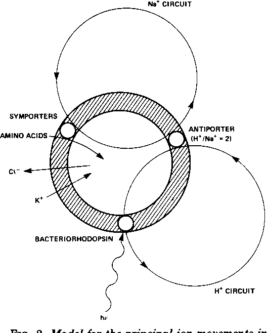 Figure 2 From Light Energy Conversion In Halobacterium Halobium