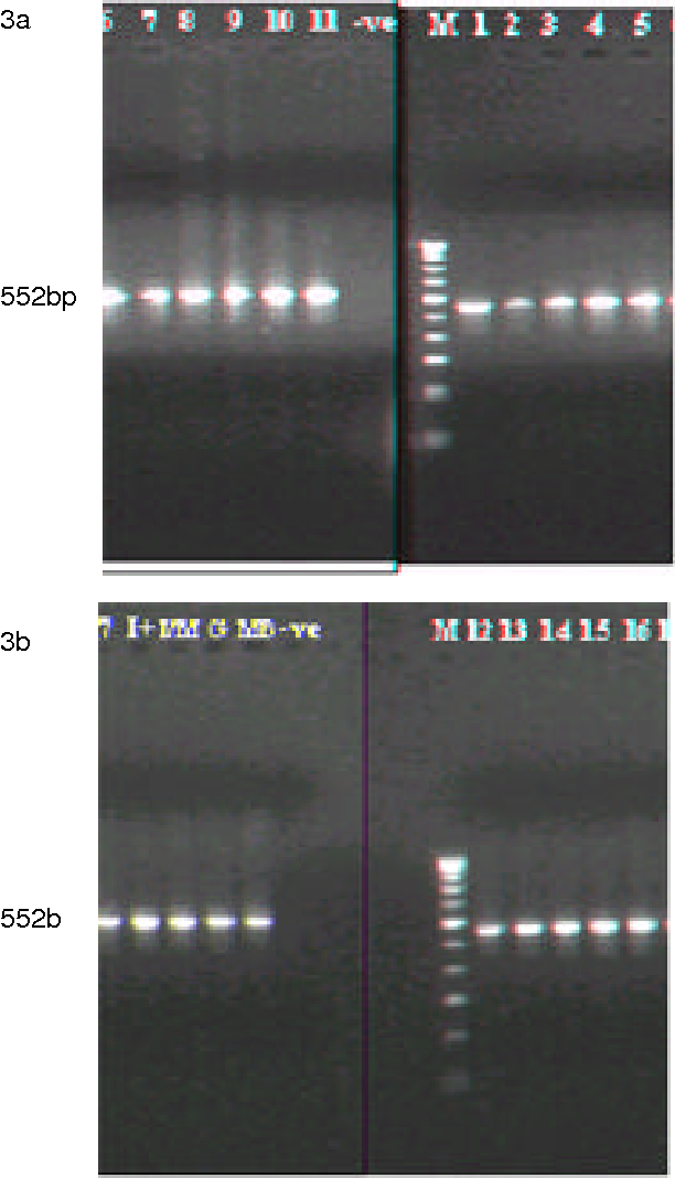 Fig. 3:a, b: Agarose gel electrophoresis of nested PCR products of field samples (1-17) and four vaccines (Intermediate Plus, I+; Intermediate, IM; Georgia, G and MB) showing amplicons of 552 bp