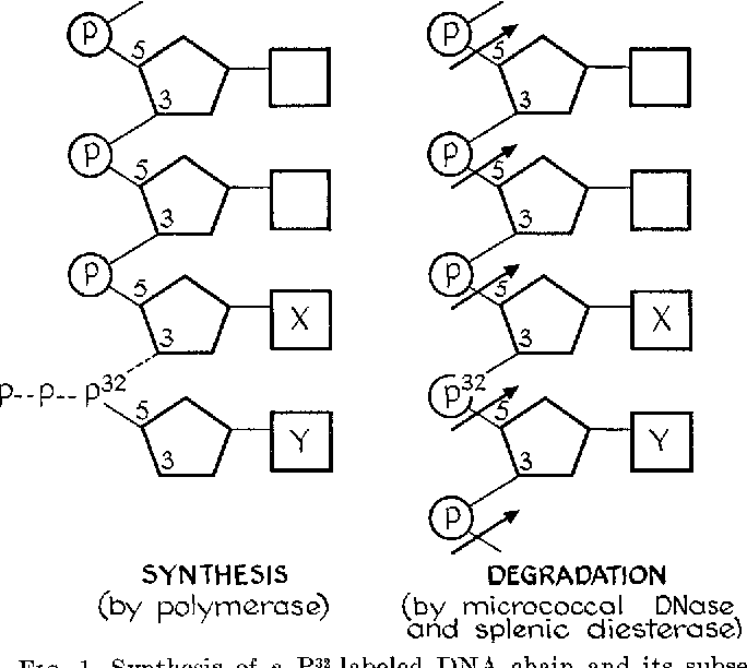 Figure 1 From Enzymatic Synthesis Of Deoxyribonucleic Acid Viii