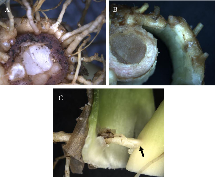 Anatomical Assessment of Root Formation and Tuberization in Cassava ...