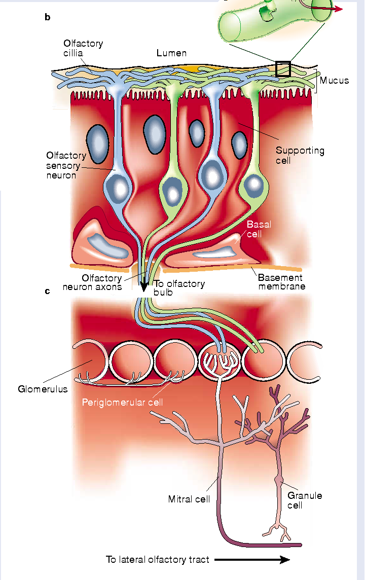 Figure 1 From Olfaction The Sense Of Smell Semantic Scholar