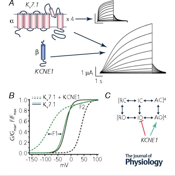 Potassium channels in the heart: structure, function and regulation ...