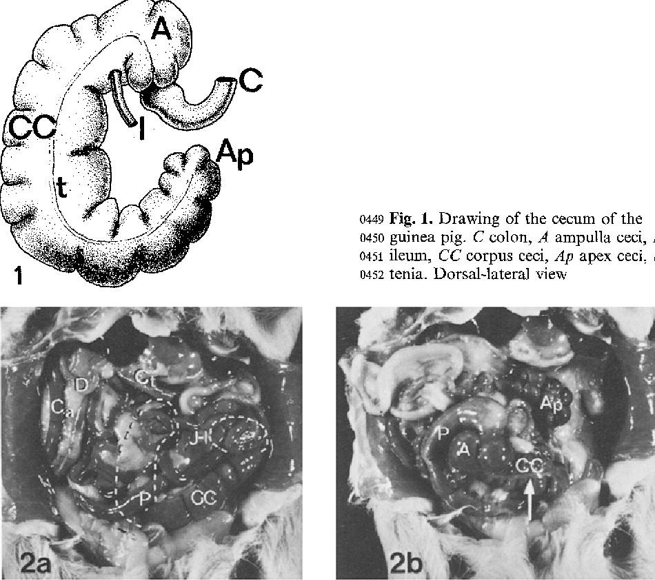 Anatomy of the guinea-pig cecum - Semantic Scholar