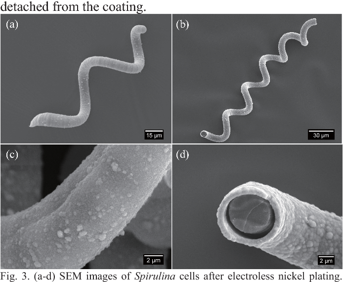 Magnetic Helical Microswimmers Made by Spirulina through Electroless