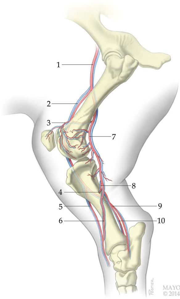 Figure 4 From A New Porcine Vascularized Tibial Bone