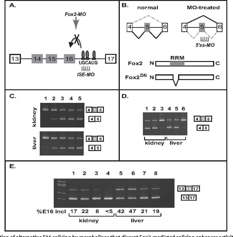 Efficient in vivo manipulation of alternative pre-mRNA