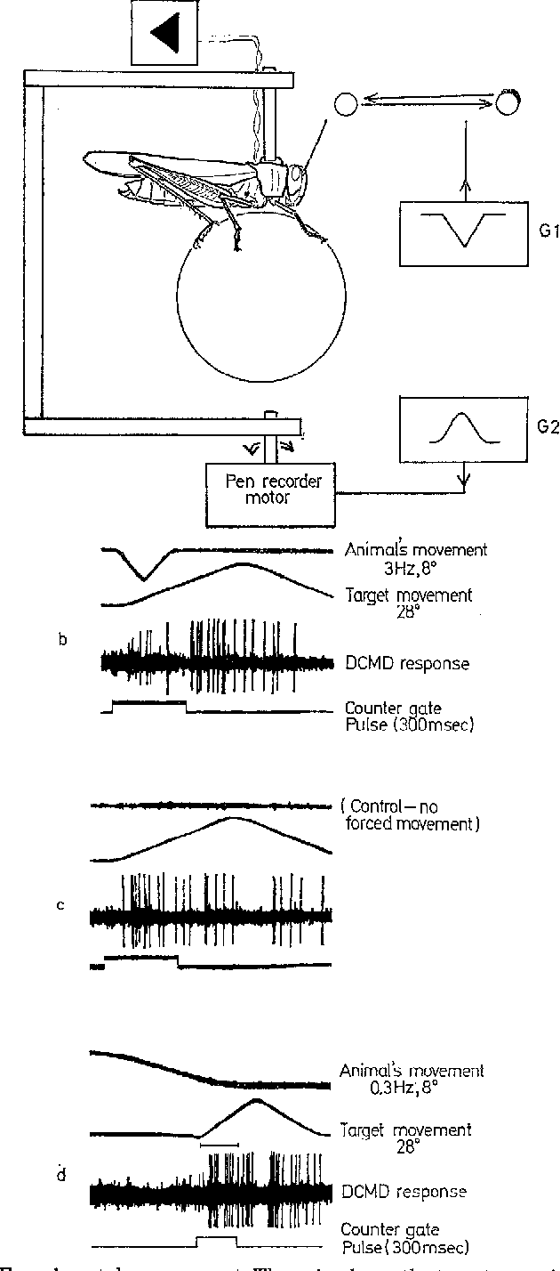 Figure 3 from The orthopteran descending movement detector (DMD ...