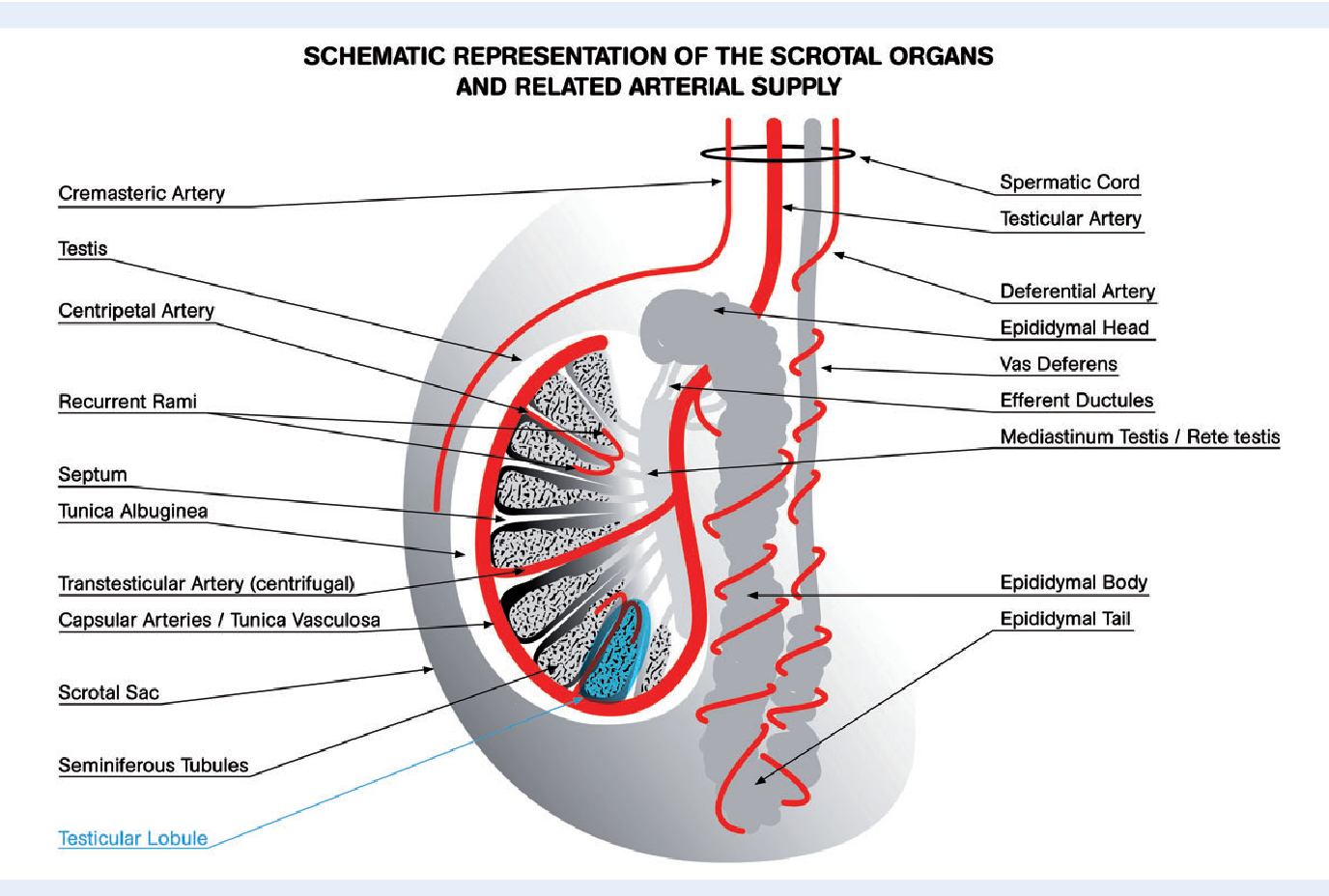 Nice Rete Testis Ensign - Physiology Of Human Body Images ...