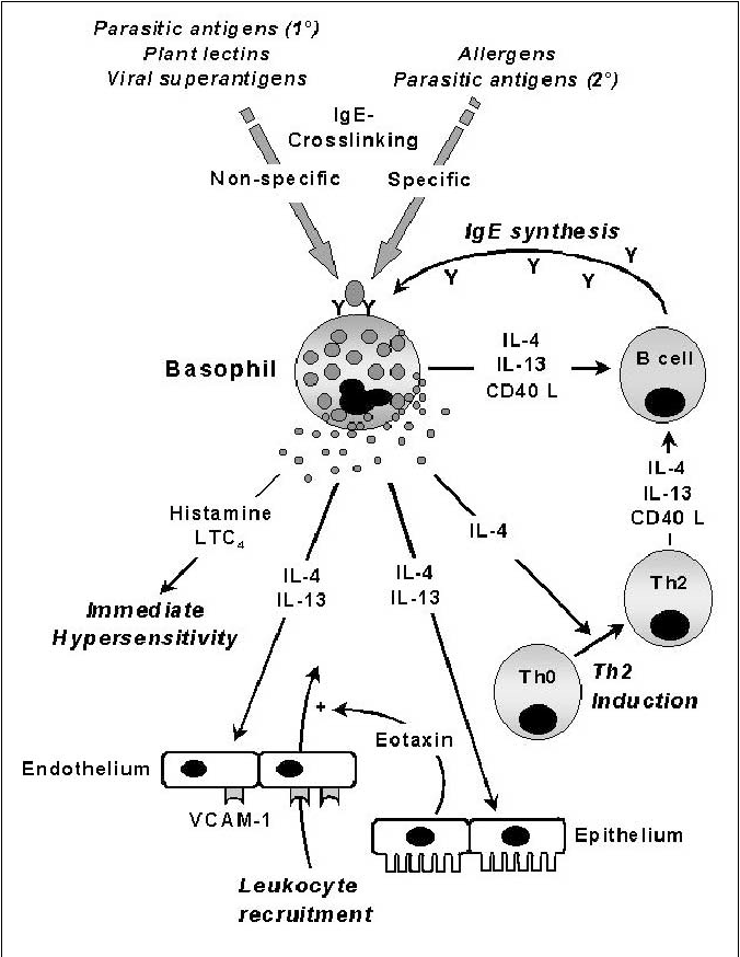 Human Basophils As Effectors And Immunomodulators Of Allergic