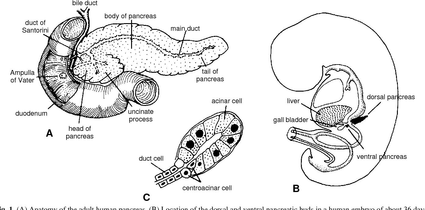 Developmental Biology Of The Pancreas Semantic Scholar