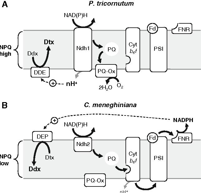 Regulation Algae Diagram Trusted Wiring Diagram