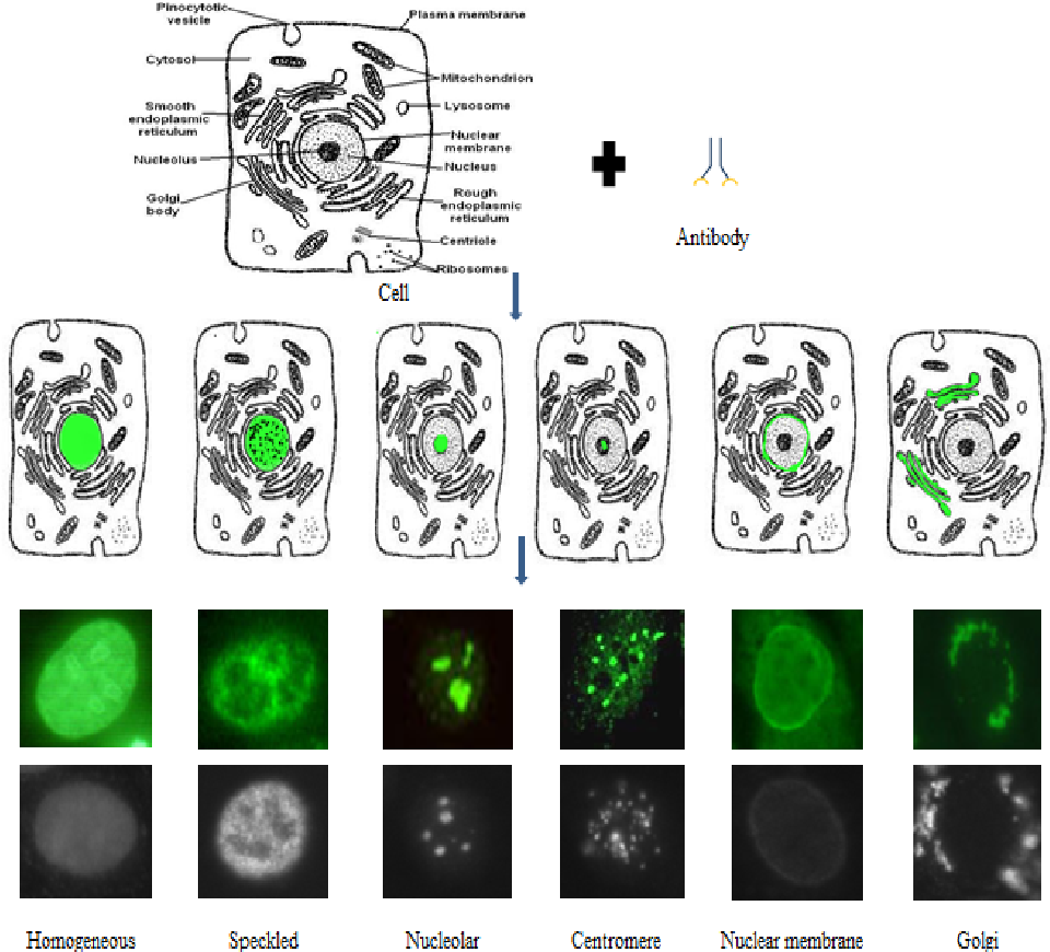 Figure 1 for Role of Class-specific Features in Various Classification Frameworks for Human Epithelial (HEp-2) Cell Images