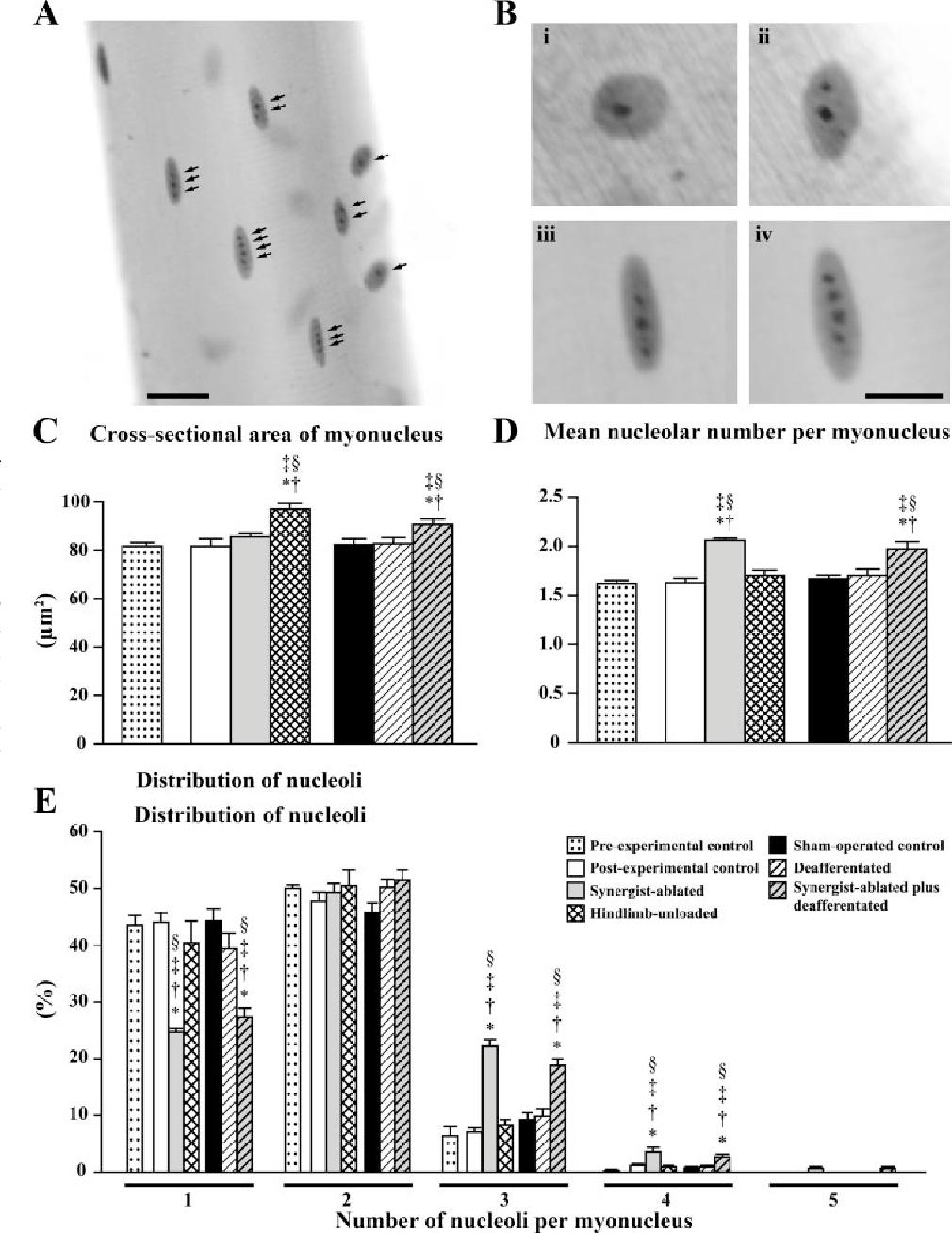 6 Figure4 1 figure 4 from role(s) of nucleoli and phosphorylation of ribosomal