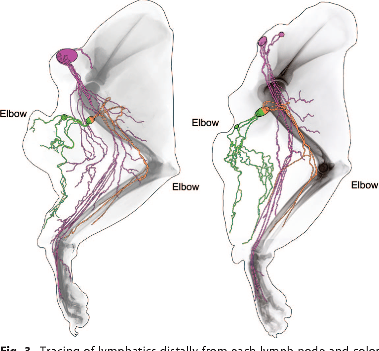 Mapping Of Lymphosomes In The Canine Forelimb Comparative Anatomy