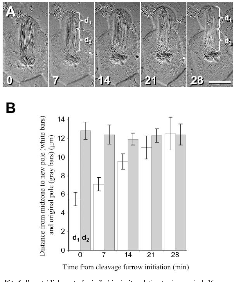 Microtubules continuously dictate distribution of actin filaments figure 6 ccuart Images