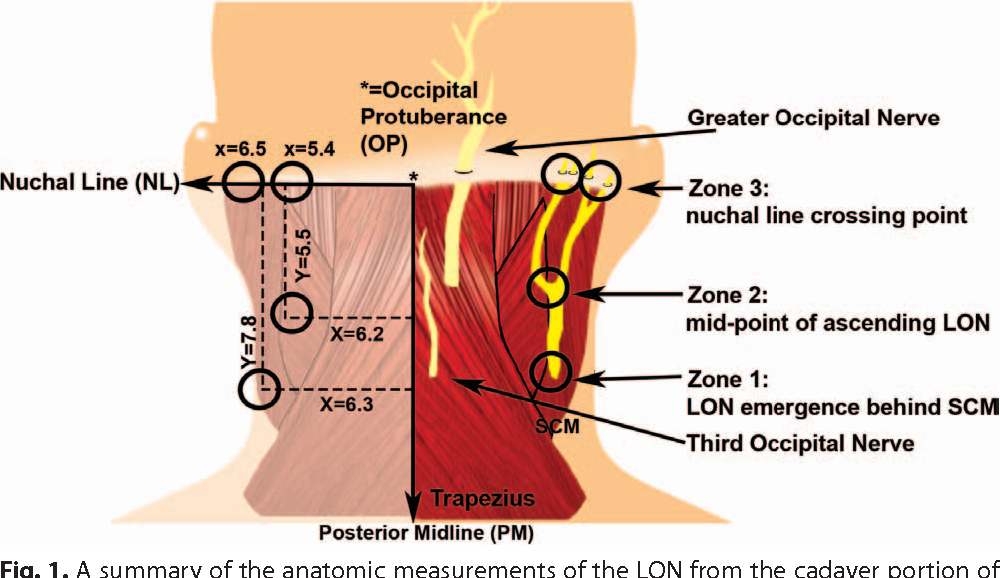 Anatomic and Compression Topography of the Lesser Occipital Nerve ...