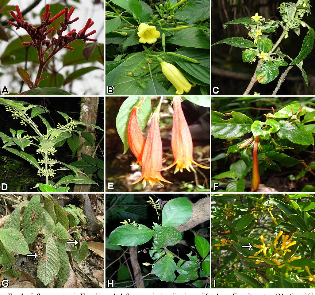 Morfología y anatomía floral de la tribu Hamelieae (Rubiaceae ...