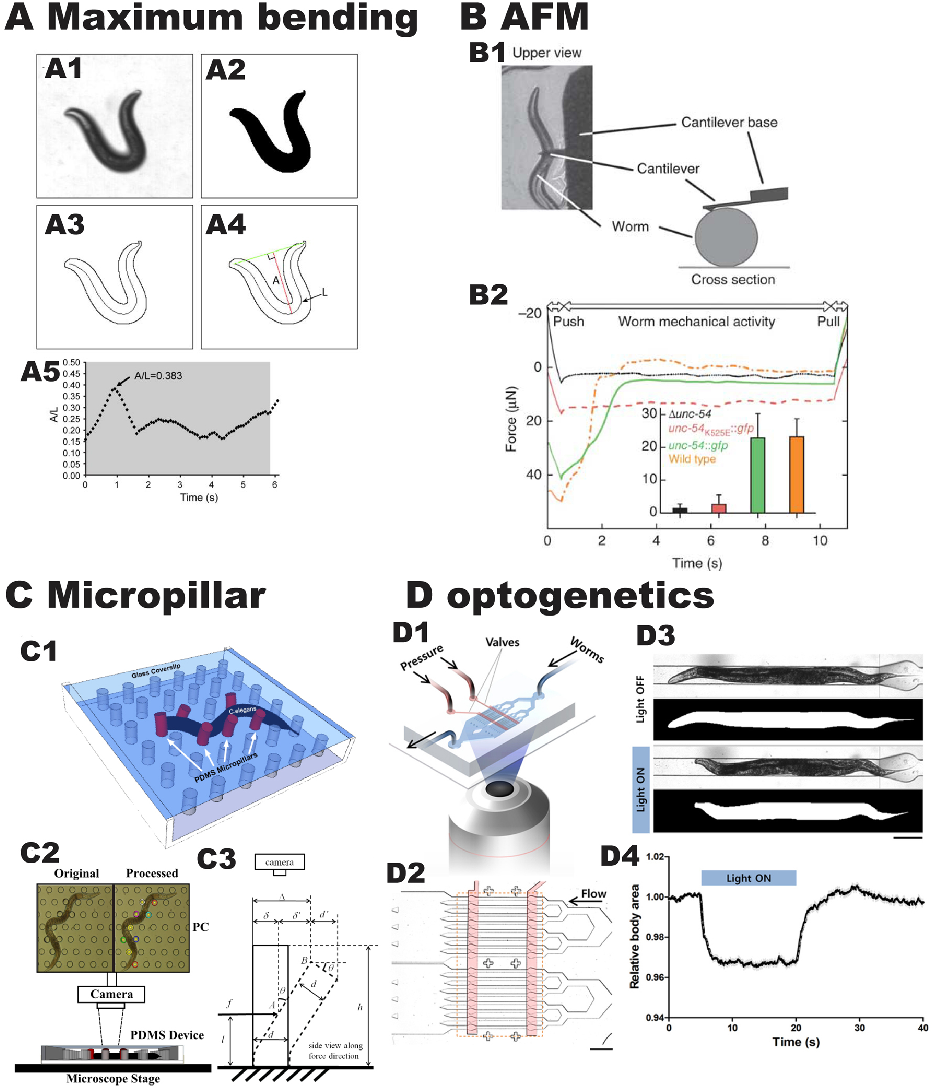 Figure 7 from Development, structure, and maintenance of C. elegans ...
