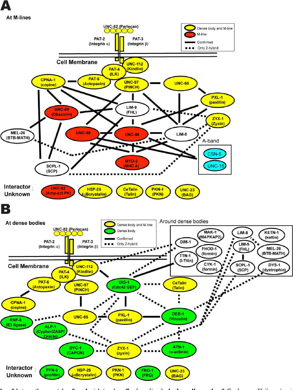 Figure 7 From Development Structure And Maintenance Of C Elegans Oracle Schematic Body Wall Muscle Semantic Scholar