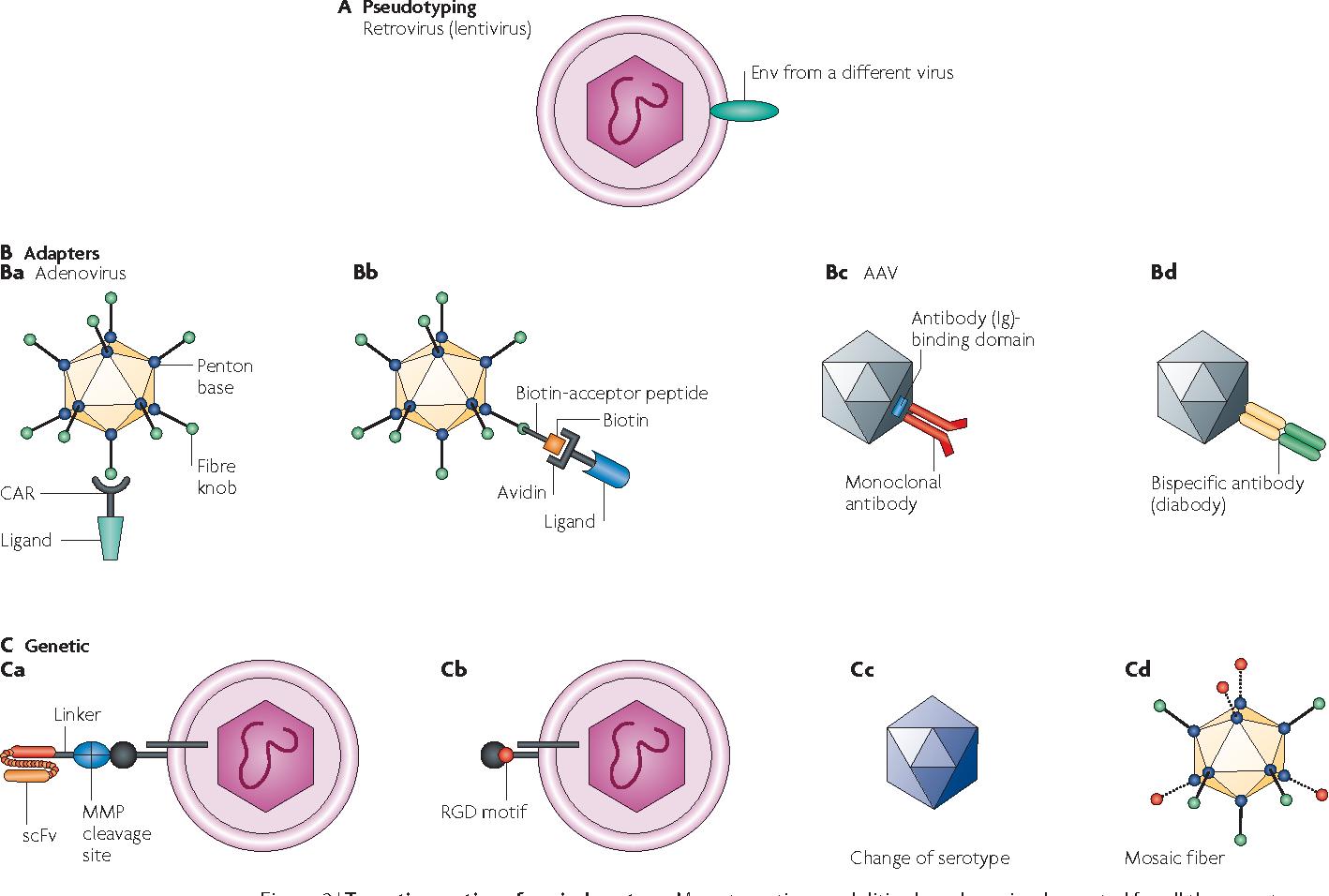 engineering targeted viral vectors for gene therapy semantic scholar rh semanticscholar org vectors for disease vectors for disease