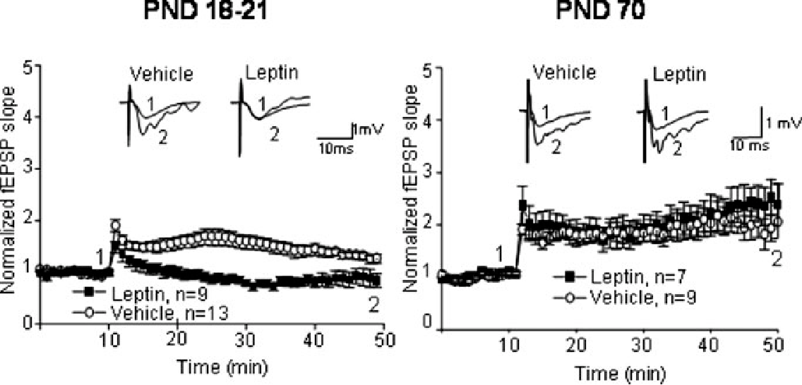 Fig. 8. LTP is abolished in PND 18–21 but not in PND 70 male rats treated neonatally with leptin (PND 2–14). Induction of LTP was done in rat hippocampal slices obtained from age-matched vehicle-treated rats or after neonatal leptin-treatment. Representative fEPSPs were taken before and after LTP induction at the time points
