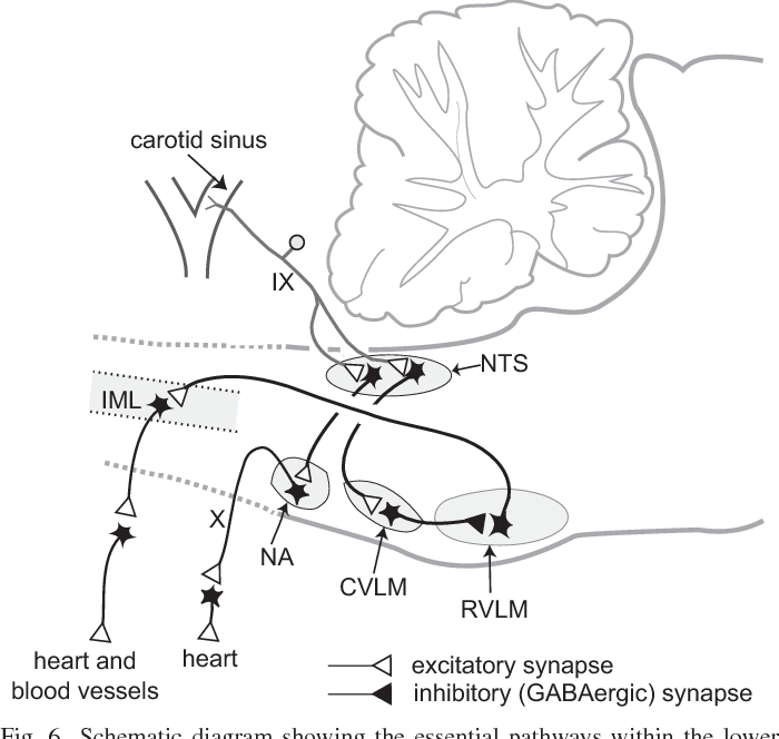 Central Neural Control Of The Cardiovascular System Current