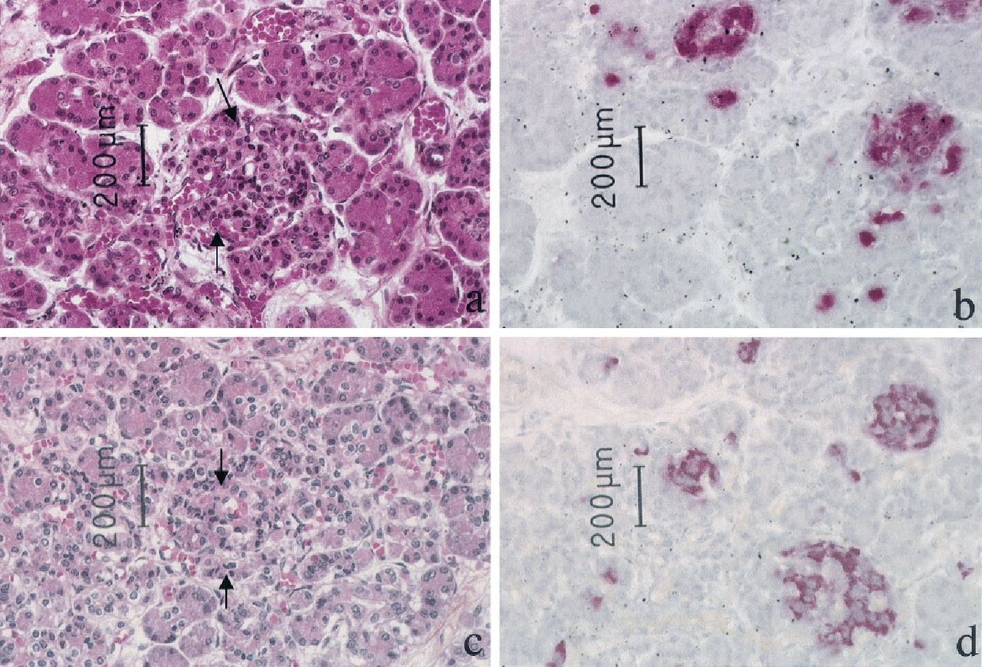 FIG. 2. Histological examination of pancreases from a control (a) and an IUGR fetus (c) showing a normal architecture, with preserved exocrine and endocrine structures (between arrows). Insulin was detected by immunohistochemistry (red color) in pancreases from a control (b) and an IUGR fetus (d).