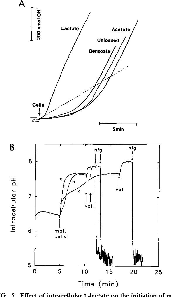 Figure 5 From Malolactic Fermentation Electrogenic Malate Uptake