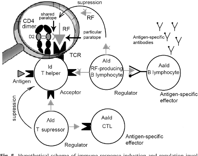 Figure 5 From The Idiotypic Network In The Regulation Of
