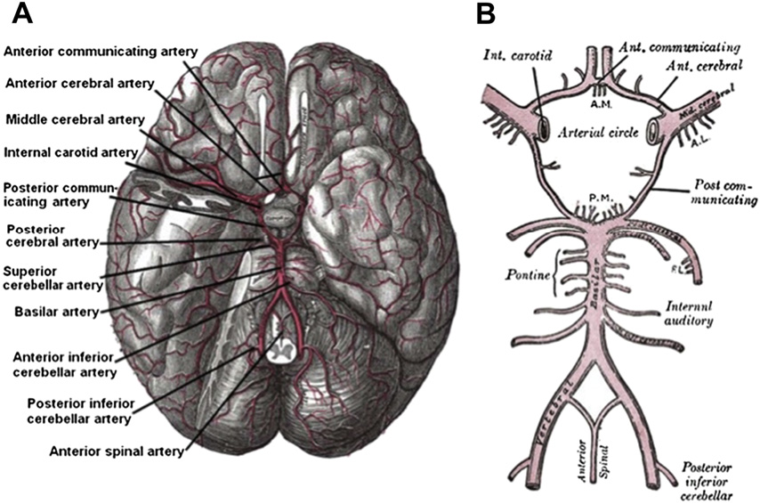 Basic neuroanatomy and stroke syndromes. - Semantic Scholar