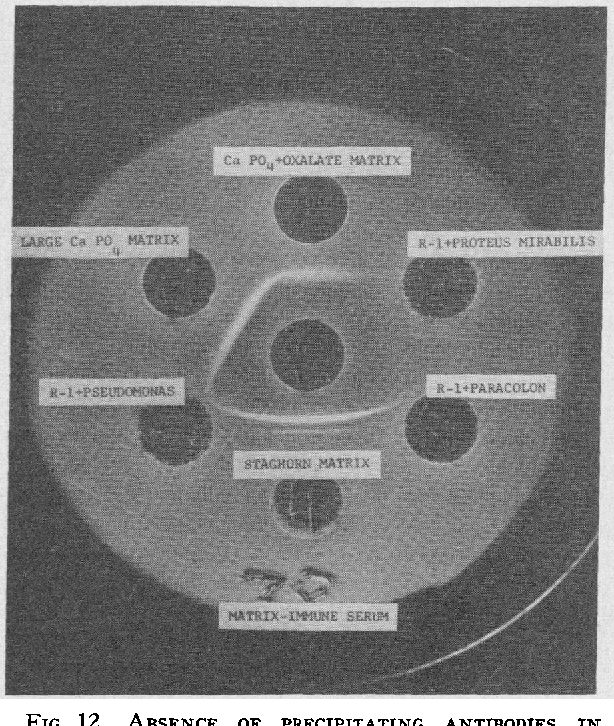 FIG. 12. ABSENCE OF PRECIPITATING ANTIBODIES IN MATRIX IMMUNE SERUM TO PURE CULTURES OF URINARY PATHOGENS CONTAINING R-1 SOLIDS OF NORMAL URINE.