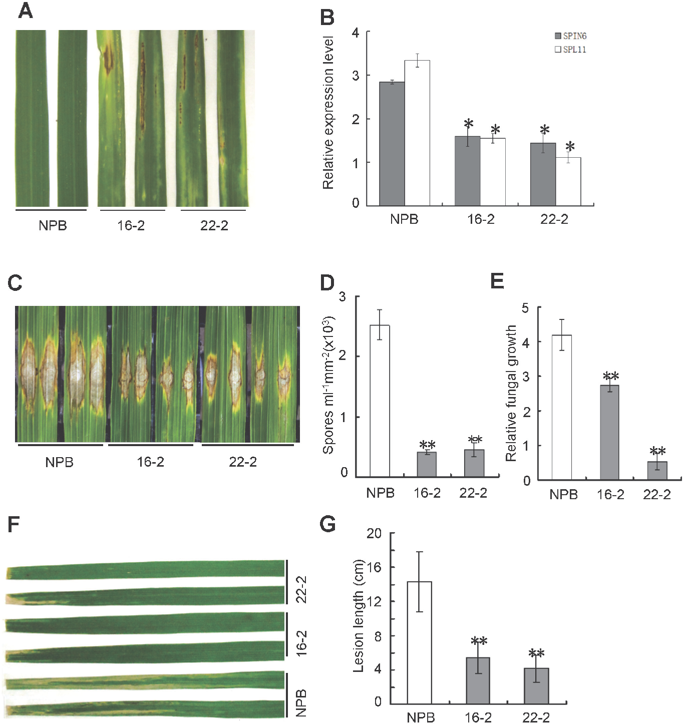 Figure 3. Knock-down of Spin6 results in cell death phenotypes and enhanced resistance to the rice blast pathogenM. oryzae and the bacterial blight pathogen Xoo in rice. (A)Cell death phenotypes of the Spin6RNAi silencing lines. Japonica rice Nipponbare (NPB) is the wild type, and 16–2 and 22–2 are Spin6RNAi lines. (B) The relative expression level of Spin6 and Spl11 in the wild type and Spin6RNAi lines as determined by real-time quantitative PCR. The data were normalized with ubiquitin. (C) Lesion-size of the Spin6RNAi lines and the wild type plants inoculated withM. oryzae isolate RO1–1. (D)Number ofM. oryzae spores produced by lesions on the Spin6RNAi lines and the wild type. (E)RelativeM. oryzae biomass in lesions in the Spin6RNAi lines and the wild type. (F) Lesion-size of the Spin6RNAi lines and the wild type infected with Xoo strain race 6. (G) Bacterial blight lesion length in the Spin6RNAi lines and the wild type. Values are means and standard errors of three replications. Significance was determined at *P<0.05 and **P<0.01 (n 3) with a t-test.