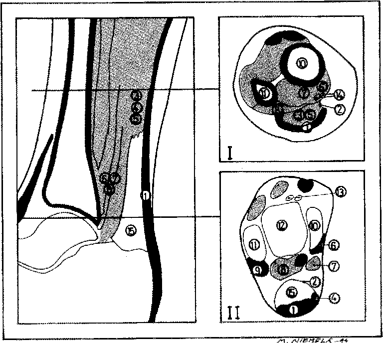 Figure 1 from Anatomy of the Achilles tendon (tendo calcaneus) with ...