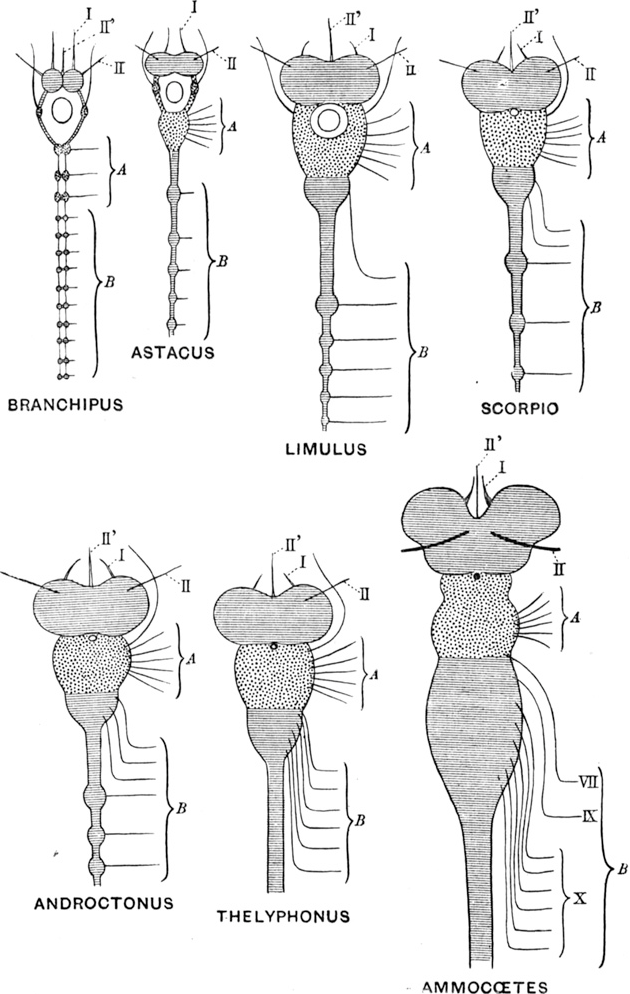 Figure 10 from The Journal of Anatomy: origin and evolution ...