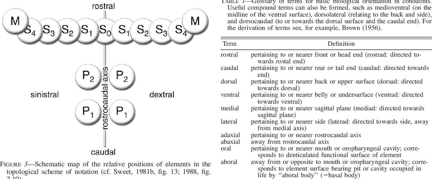 Definition Of Dorsal In Anatomy Choice Image - human body anatomy