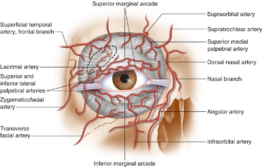 Surgical Anatomy Of The Forehead Eyelids And Midface For The