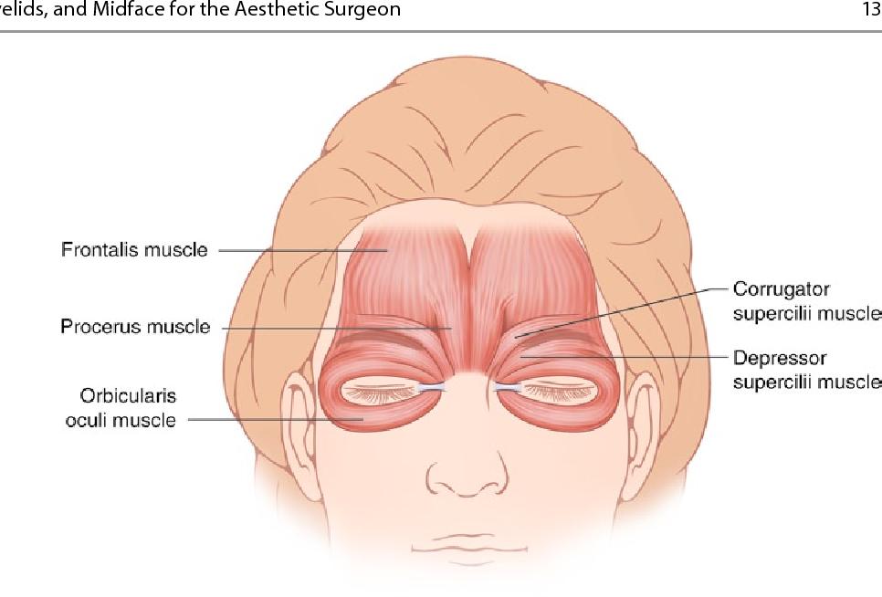 Luxury Eyelid Anatomy Diagram Gift - Human Anatomy Images ...
